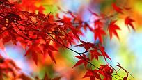 javor japonský (Acer japonicum, syn. Acer shirasawanum)