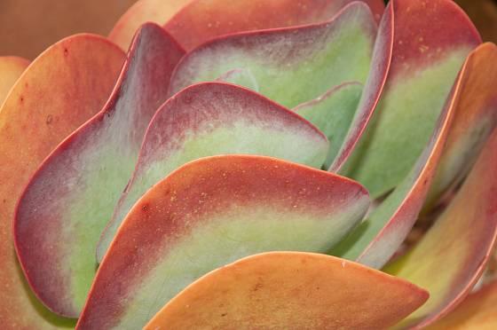 kolopejka, Kalanchoe thyrsiflora