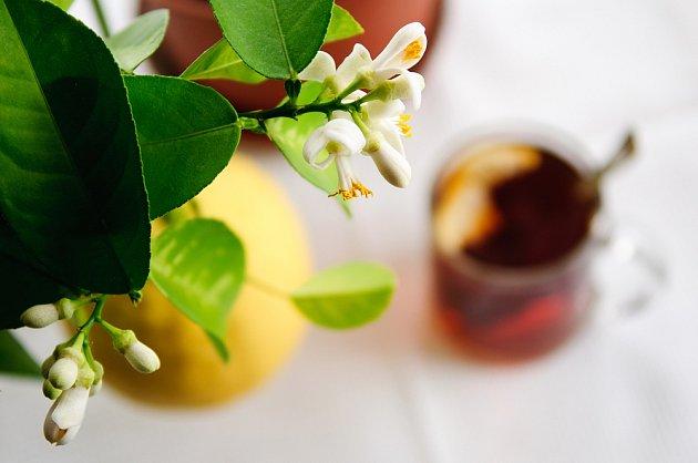 Citroníky pěstované v pokoji ochotně kvetou i plodí