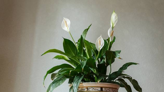 Lopatkovec je nezmar mezi pokojovými rostlinami.