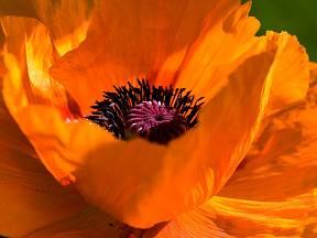 Okrasný mák - detail květu.