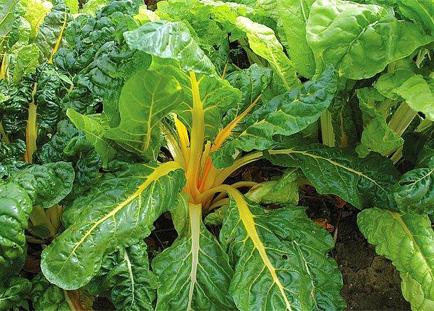 mangold žlutý