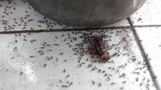 Mravenci si rádi pochutnají na mrtvém hmyzu.