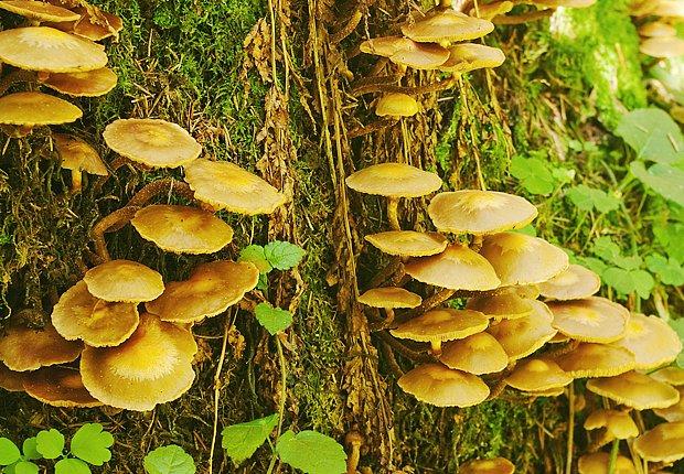 Málo známá opěnka je v listnatých lesích poměrně hojná
