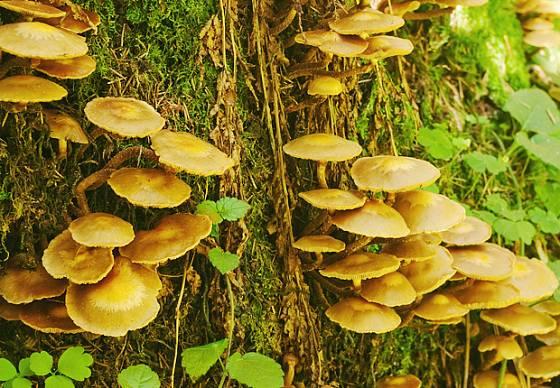 Málo známá opeňka je v listnatých lesích poměrně hojná.