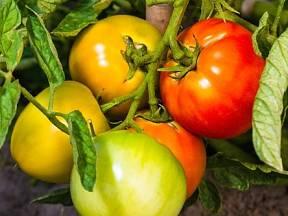 Sklízíte rajčata červená? Děláte chybu.
