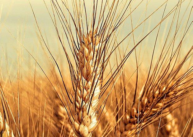 pšenice dvouzrnka