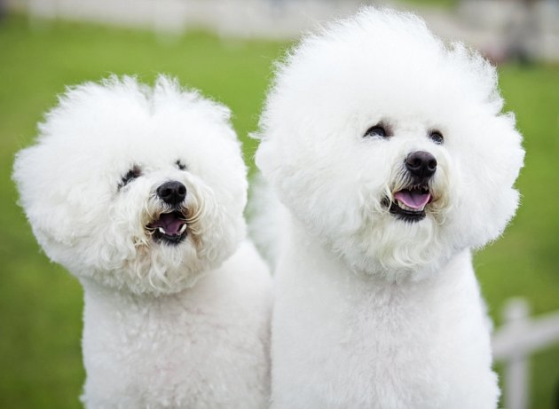 Bichon Frisé je hraví, citlivý a krotký pes.