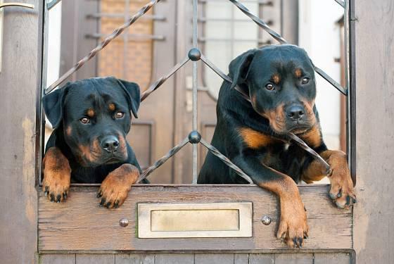 Z původně pasteveckých psů se vyvinuli domácí mazlíčkové a hlídači.