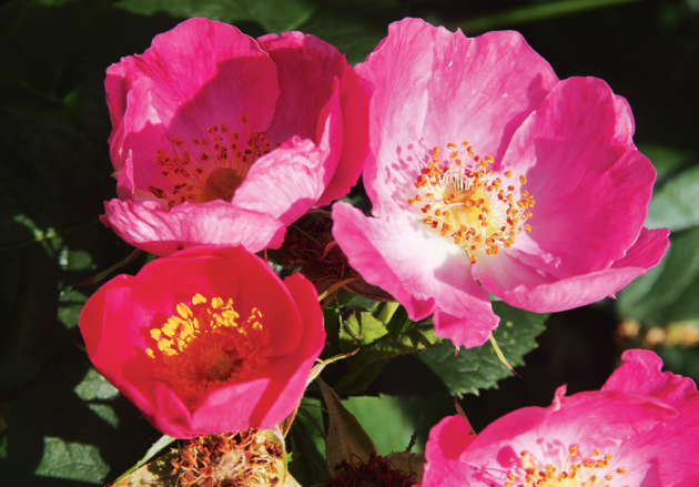 Za raně kvetoucí růže můžeme považovat ty druhy a odrůdy, které plně rozkvetou v našich nížinách do prvního června