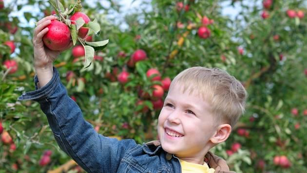 Se sklizní jablek rády pomohou i děti.
