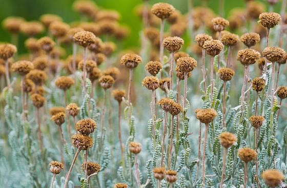 Suchá květenství svatolíny budou zdobit záhony i na podzim a v zimě