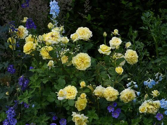 Růže odrůdy Sterntaler