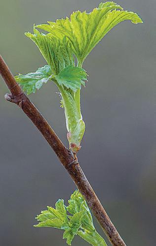 Listí maliníku lze využít rozličnými způsoby