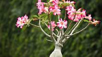 Adenium obesum se často pěstuje jako bonsaj.