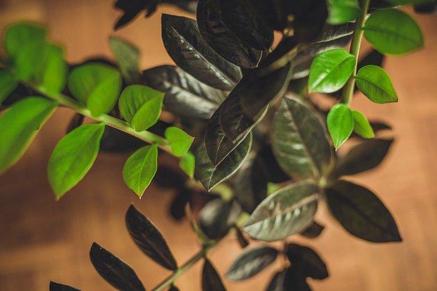 Zamiokulkas černý – jeho domovinou je východní Afrika