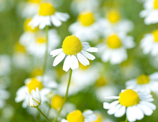 Krásně kvetoucí heřmánek je univerzální léčivou rostlinou