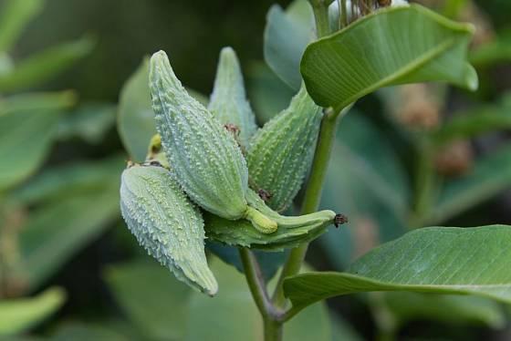 Klejichu můžeme množit i pomocí semen, která z květenství dozrají