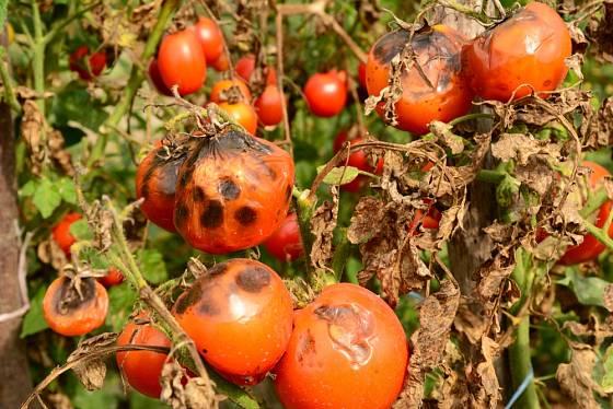 Plíseň se na rajčatech rychle šíří
