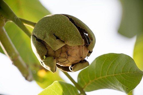 Připravte si tinkturu ze slupek vlašských ořechů.