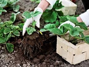 Právě přišel čas zasadit nové jahody