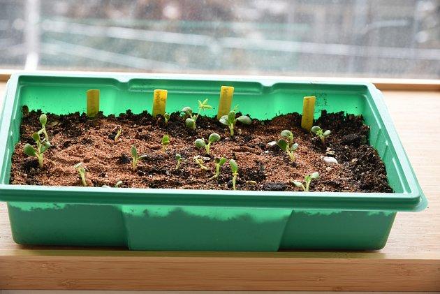 Nejjednodušší je pěstovat lupiny ze semen.