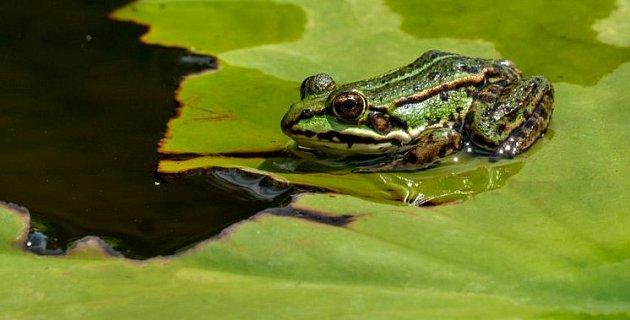 Jezírko může obývat i skokan zelený, který na rozdíl od svého hnědého příbuzného tráví většinu času ve vodě či těsně u ní