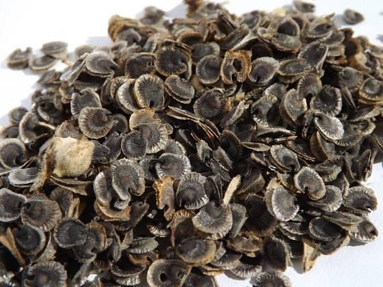 Semena topolovky