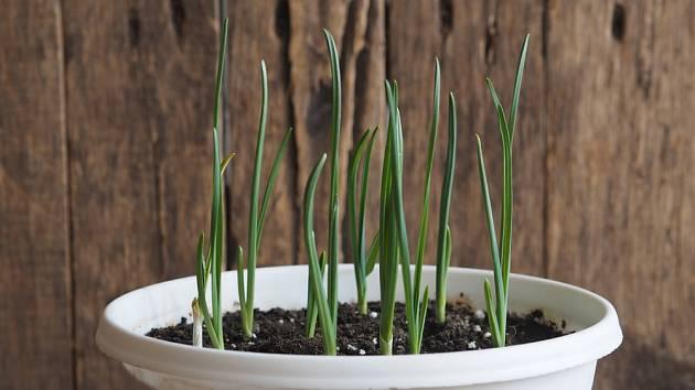 Česnek můžeme zkusit pěstovat i v domácích podmínkách.