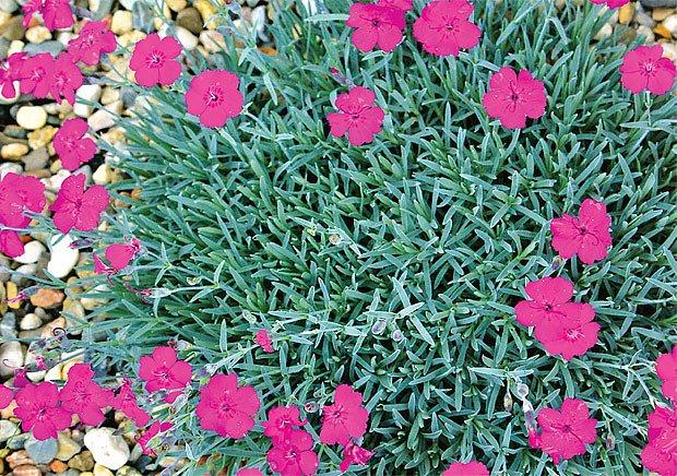 hvozdík sivý (Dianthus gratianopolitanus)