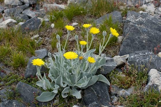 Jestřábník vlnatý (Hieracium lanatum) můžeme vysadit na skalku.