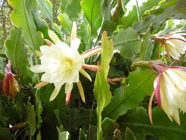 Velký, vonící bílý květ Epiphyllum oxypetalum rozkvétá před setměním a vydrží jen přes noc.