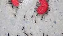 Mravenci unesou až stonásobek své váhy.