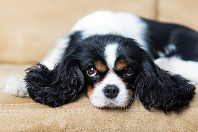 Kavalír King Charles španěl je pes mnoha zájmů a schopností.