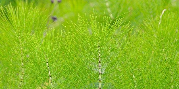 přeslicka rolní (Equisetum arvense)
