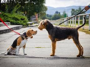 Psi se dorozumívají především postavením uší, ocasu, pohyby trupu.