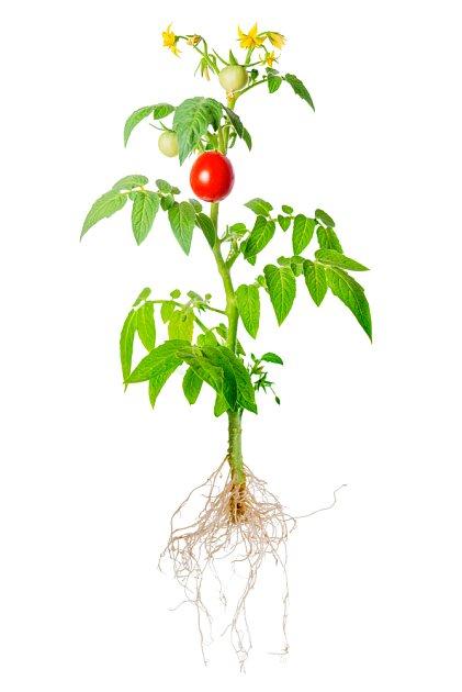 Rajče nasazuje plody.