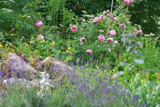Růže a levandule, ideální kombinace pro voňavé zákoutí