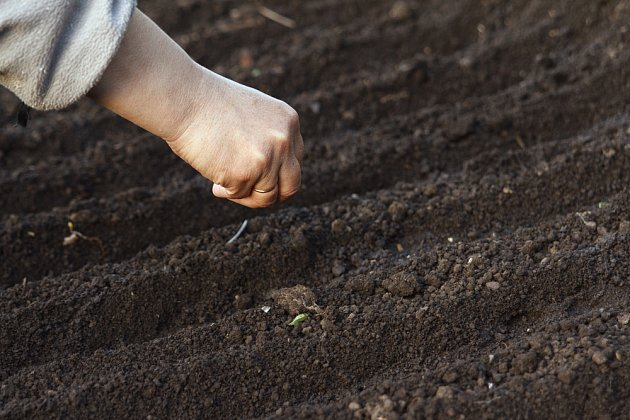 Pro brzkou jarní sklizeň sejeme v listopadu