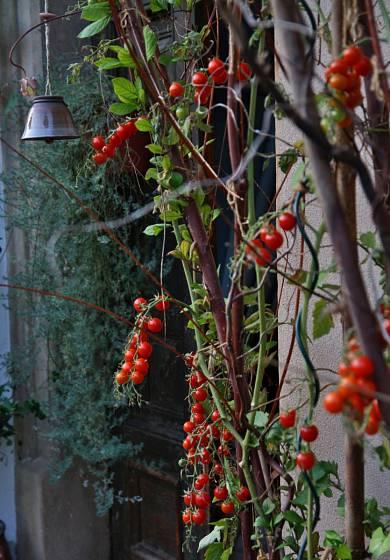 Cherry rajče odrůdy Sweet Aperitif
