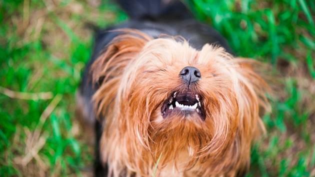 U některých psů musíme počítat s tím, že jejich hlídací instinkty se projevují hojným štěkotem