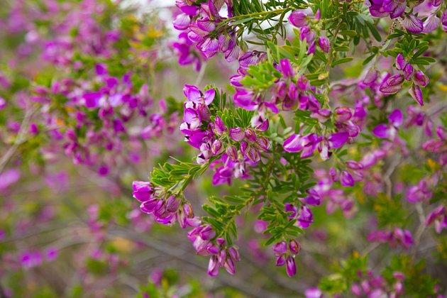 Vítod myrtolistý (Polygala myrtifolia)