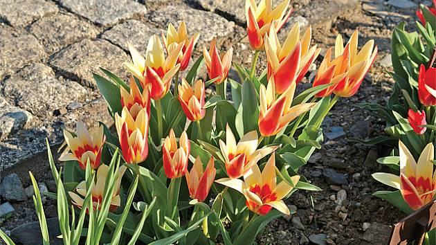 Tulipa kaufmanniana 'Corona'