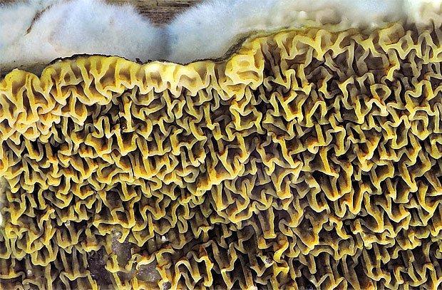 Dřevomorka lesní (Serpula himantioides) roste většinou na odumřelém dřevě borovic a smrků