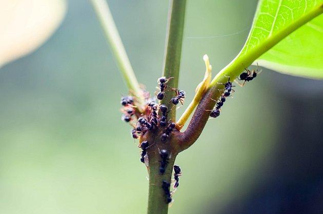 I užiteční mravenci mají svou stinnou stránku.