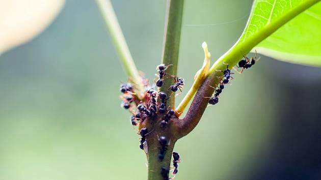 Dlouhodobá likvidace mravenců