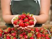 Čerstvě natrhané jahody chutnají nejlépe.