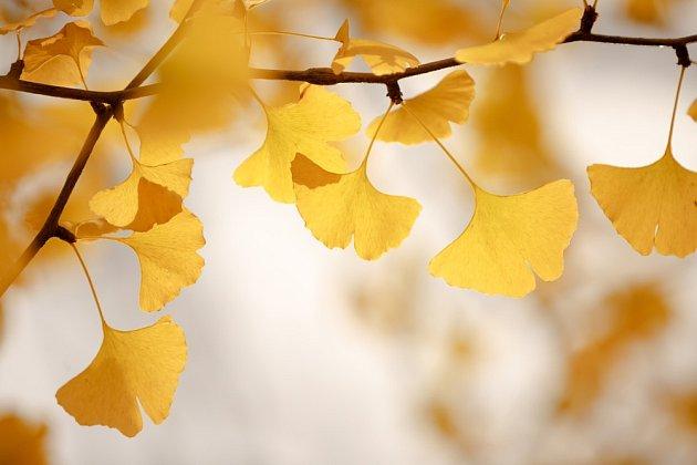 Listy jinanu dvoulaločného (Ginkgo biloba) se na podzim zbarvují žlutě.