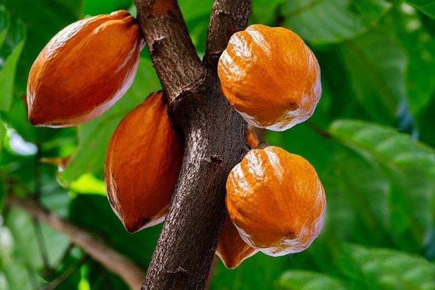Zrající plody kakaovníku (Theobroma cacao)