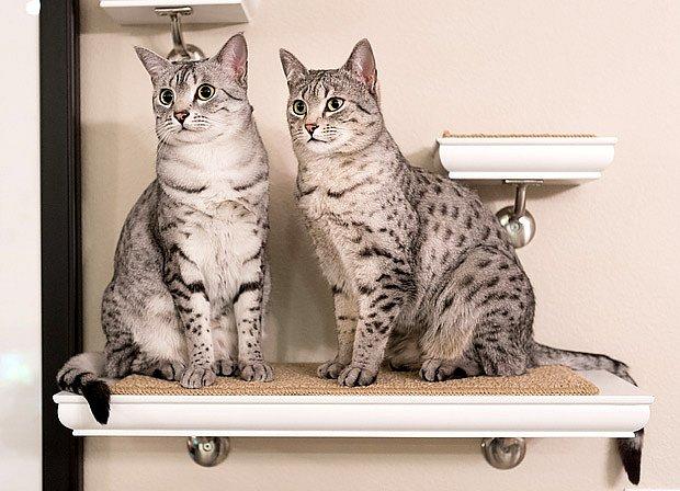 Mau je egyptské plemeno koček s dávnou historií